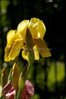 Yellow Iris by KWilliamsPhoto