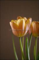 Tulip Still Life 2 by KWilliamsPhoto