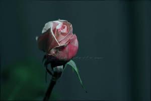 Rose Bud 7 Reimagined by KWilliamsPhoto