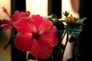 Hibiscus 1 Revisit by KWilliamsPhoto