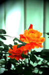 Orange Roses by KWilliamsPhoto