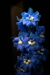 Blue Delphinium by KWilliamsPhoto