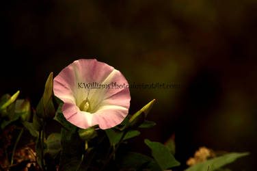 Wild Morning Glory - Pink by KWilliamsPhoto