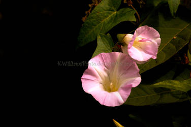 Wild Morning Glory - Pink 2 by KWilliamsPhoto