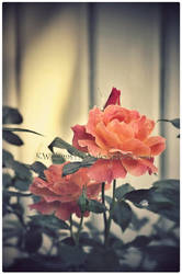 Orange Roses Revisit by KWilliamsPhoto