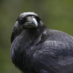 raven by davesbit