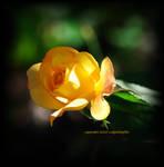 Sunny for you... by LadyAliceofOz