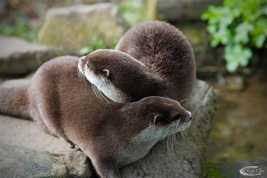 Otters by CamPhoto