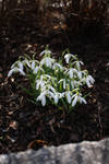 Snowdrop by pelleron-stock