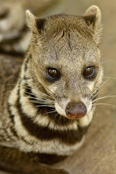 Civet Cat by diegopoo