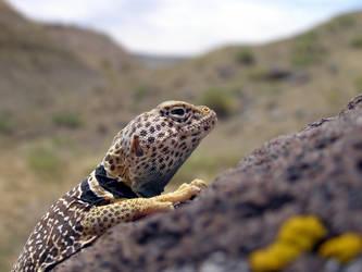 Collared Lizard by lizardman1988