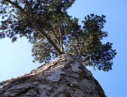 Pine Tree by Lpixel