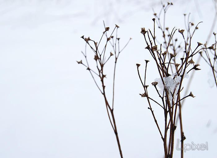 Snowy plants by Lpixel