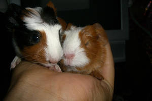 baby guinea pigs by Rodale