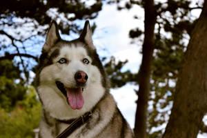 Iskra my husky dog by IgnacioRC