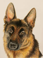 German Shepherd by deviprasadchand