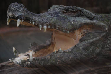 Crocodile Smile by crssafox