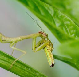 Praying Mantis by cedarlili
