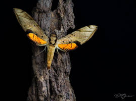 Streaked Hawk-Moth Sphinx (Protambulyx Strigilis). by DeoIron