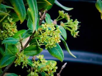 Lemon Myrtle Pre Bloom by DraconianRain