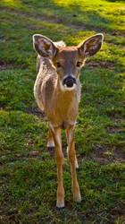 Little Deer STOCK by JessicaDobbs