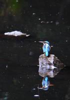 Kingfisher by ameshin
