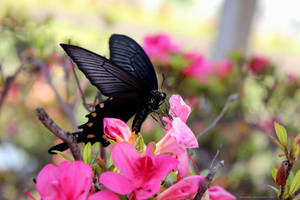 Swallowtail Butterfly Sip Nectar and Stare At You by ameshin