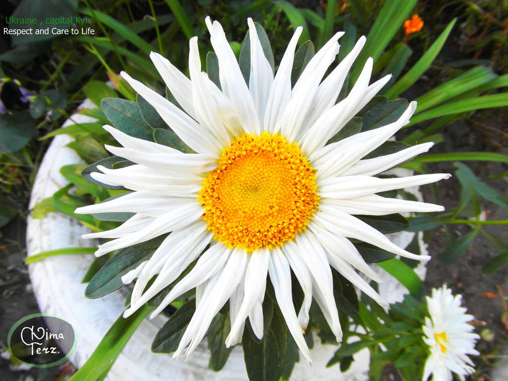 Labai Grazus Flower Daisy on my way II by UAkimov09