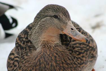 Mallard duck by DarkRose-87