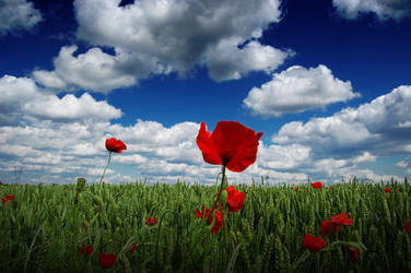 Gentil coquelicot by mickael-bedier