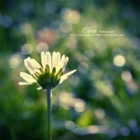 november daisy by phoenixgraphixstudio