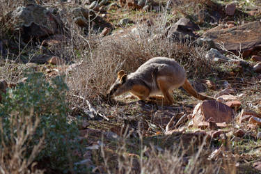 Yellow Footed Rock Wallaby by destroyerofducks