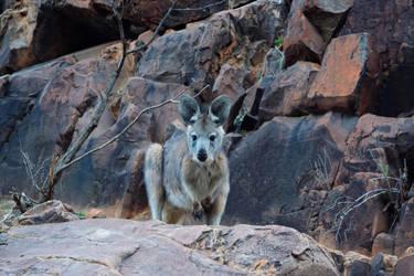 A Small Kangaroo by destroyerofducks