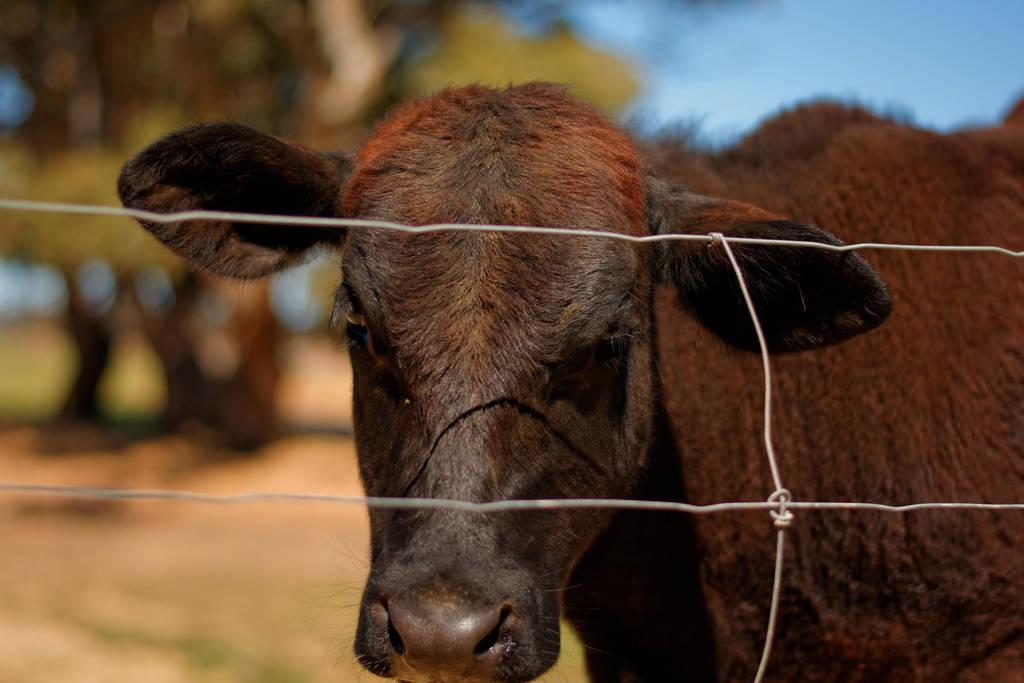 A Friendly Cow by destroyerofducks