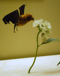 Bat Stock by shortcakesnail-Stock