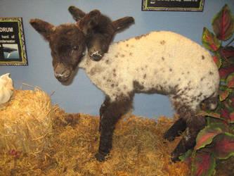 Two Headed Sheep by shortcakesnail-Stock