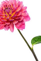 Flower shoot 7-18 - 3 by misdirekted