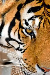 Tiger by misdirekted