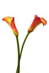 Orange Calla Lillies by misdirekted