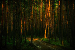 The road in a pine forest by Anna-Belash