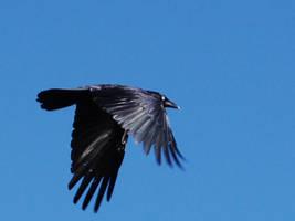 Crow Flying by Dark-Tiger-Lover