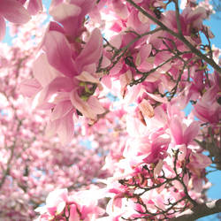 Magnolias by Photoloaded
