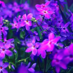 Purple Dream by Photoloaded