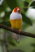 Lady Gouldian finch - yellow by secondclaw