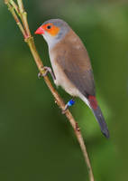 Orange Cheek Waxbill by secondclaw