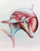 Dolphin Anatomy by Jaguero92