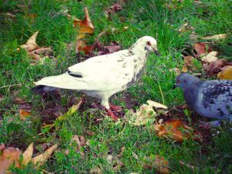 White pigeon by Olga17