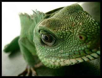 Chinese Water Dragon by kbearne