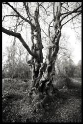 My Favourite Birch Tree by grimleyfiendish