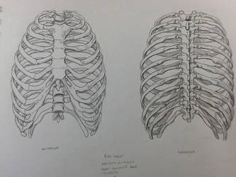 2 View Rib Study by BillyDoubleU